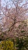 Flowering trees in spring. Flowering trees on the street in spring royalty free stock photo