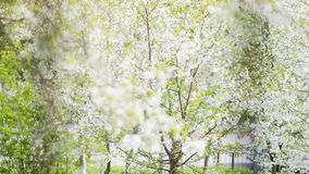 Flowering trees sway from the wind in the spring city landscape. Steadicam video stock footage