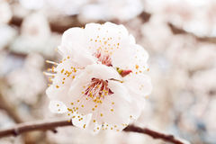 The flowering trees Royalty Free Stock Photo