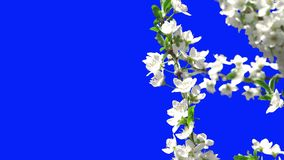 Flowering of Trees. This video shows Flowering Trees stock footage