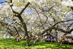 Flowering trees with white blossom in spring Stock Images