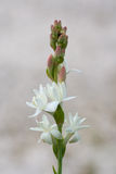 Flowering tuberose Stock Photos