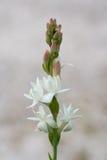 Flowering tuberose. Tuberose blooms in the garden. (Polianthes tuberosa Stock Photos
