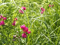 Flowering tuberous pea among meadow grasses Royalty Free Stock Photo
