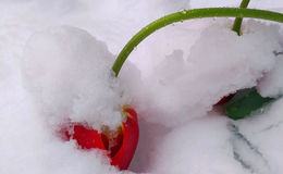 Flowering tulip bending under the weight of snow and ice Royalty Free Stock Photo