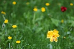Flowering Tulip Stock Photography