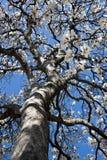 Flowering Tulip tree. Magnolia soulangeana at the University of Virginia royalty free stock photography