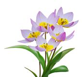 Flowering Tulips Royalty Free Stock Photography