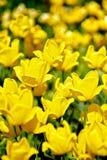 Flowering Tulips Stock Image