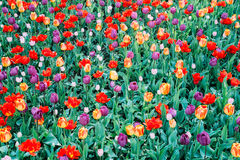 Flowering tulips. Bright flowering tulips view - background royalty free stock photos