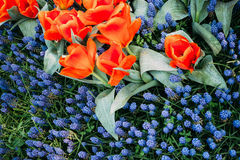 Flowering tulips. Bright flowering tulips view - background stock photography