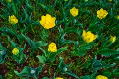 Flowering of tulips. Flowering of yellow tulips in spring stock images