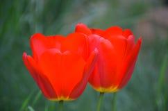 Flowering tulips. Growing in garden royalty free stock image