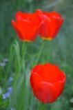 Flowering tulips. Growing in garden royalty free stock photos