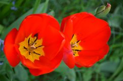 Flowering tulips. Growing in garden stock images