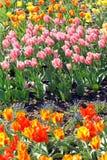 Flowering tulips. Lots of flowering tulips in detail stock photos
