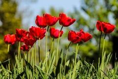 Flowering Tulips - Spring bloom - awakening nature. Red and green background stock image