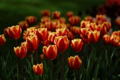 Flowering tulips in sunshine. Flowering tulips in the spring garden in sunshine stock photo