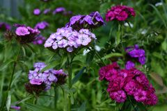 Flowering Turkish carnations Royalty Free Stock Photography