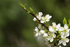 Flowering twig. Blossom twig plum tree in the spring Royalty Free Stock Image