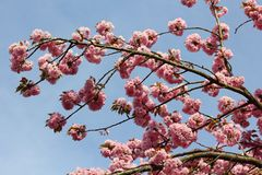 Flowering twig of Prunus serrulata against blue sky Royalty Free Stock Photos