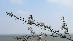 Flowering twig in the wind, water area behind. Flowering cherry twig in the wind, water area behind, short video stock video