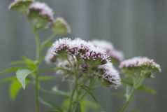 Flowering Valerian- Valeriana officinalis Stock Photography