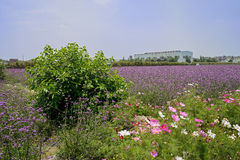 Flowering verbena farmlands in sunny summer Royalty Free Stock Photo