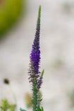 Flowering Veronica.