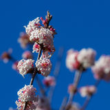 Flowering Viburnum x bodnantense Royalty Free Stock Images