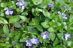 Flowering vinca minor forming groundcover in the garden. Flowering vinca minor forming groundcover in spring garden stock image