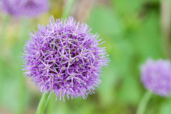 Flowering violet onion over green background Stock Photos