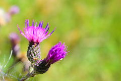 Flowering violet thistle Stock Photos