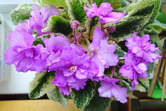 Flowering violets on the windowsill royalty free stock image