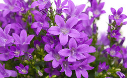 Flowering wall bellflower Stock Image