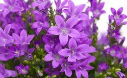 Flowering wall bellflower Stock Image