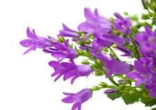 Flowering wall bellflower Royalty Free Stock Images