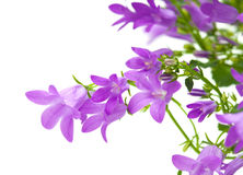 Flowering wall bellflower Royalty Free Stock Photography