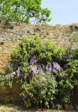 Flowering wall in San Gimignano Royalty Free Stock Image