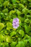 Flowering Water Hyacinth Eichhornia Crassipes floating in a pond stock photos
