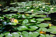 Flowering water lilies Stock Photography
