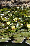 Flowering water lilies Royalty Free Stock Photography