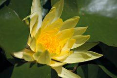 Flowering of water lily Stock Photo