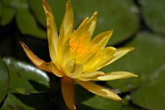 Flowering of water lily Royalty Free Stock Images