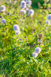 Flowering water mint between the dewy grass Royalty Free Stock Image
