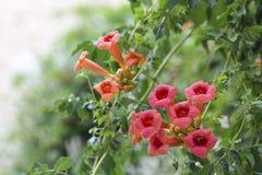 Flowering Weigel bush Stock Photography