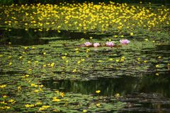 Flowering wetlands on the outskirts of Prague Royalty Free Stock Images