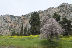 Almond tree in a garden on mountain background Stock Image