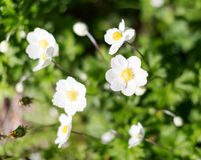 Flowering white Anemone hupehensis. Thimbleweed or windflower. Selective focus royalty free stock photos