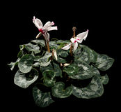 Flowering white cyclamen on the black background Royalty Free Stock Photography